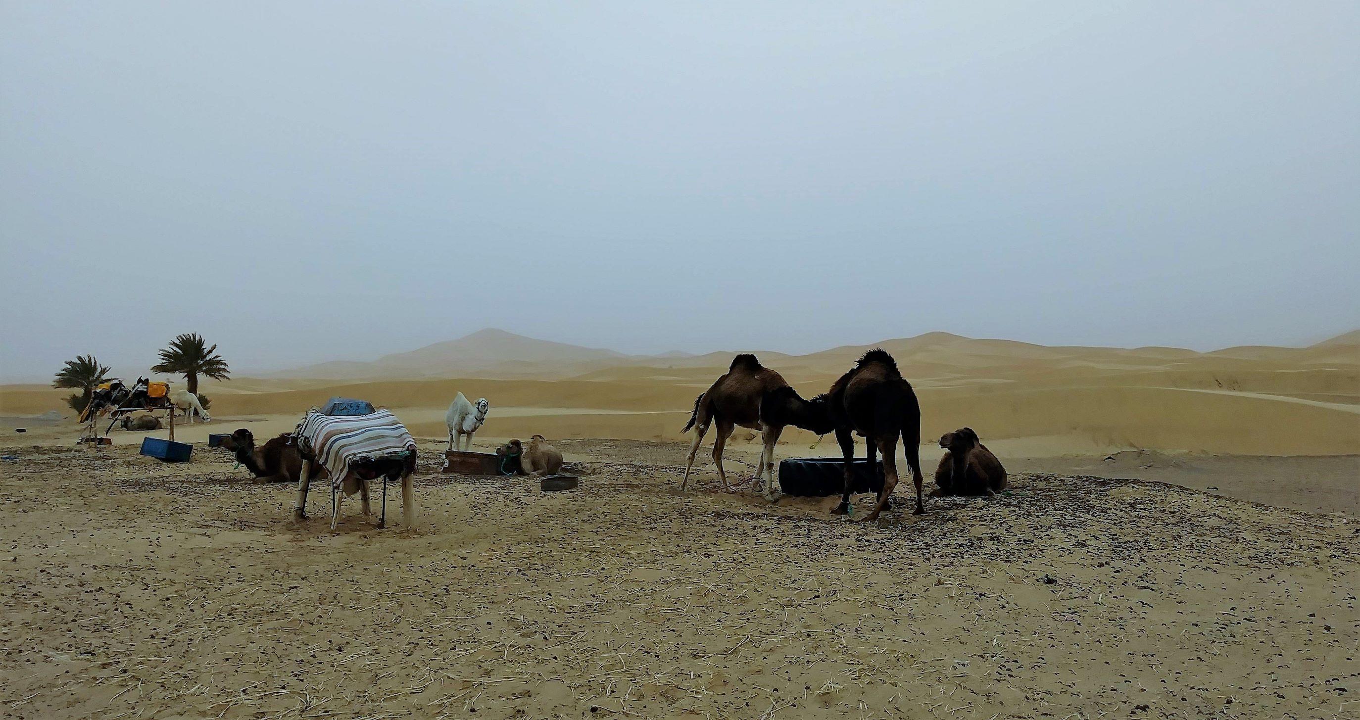 三三兩兩的駱駝