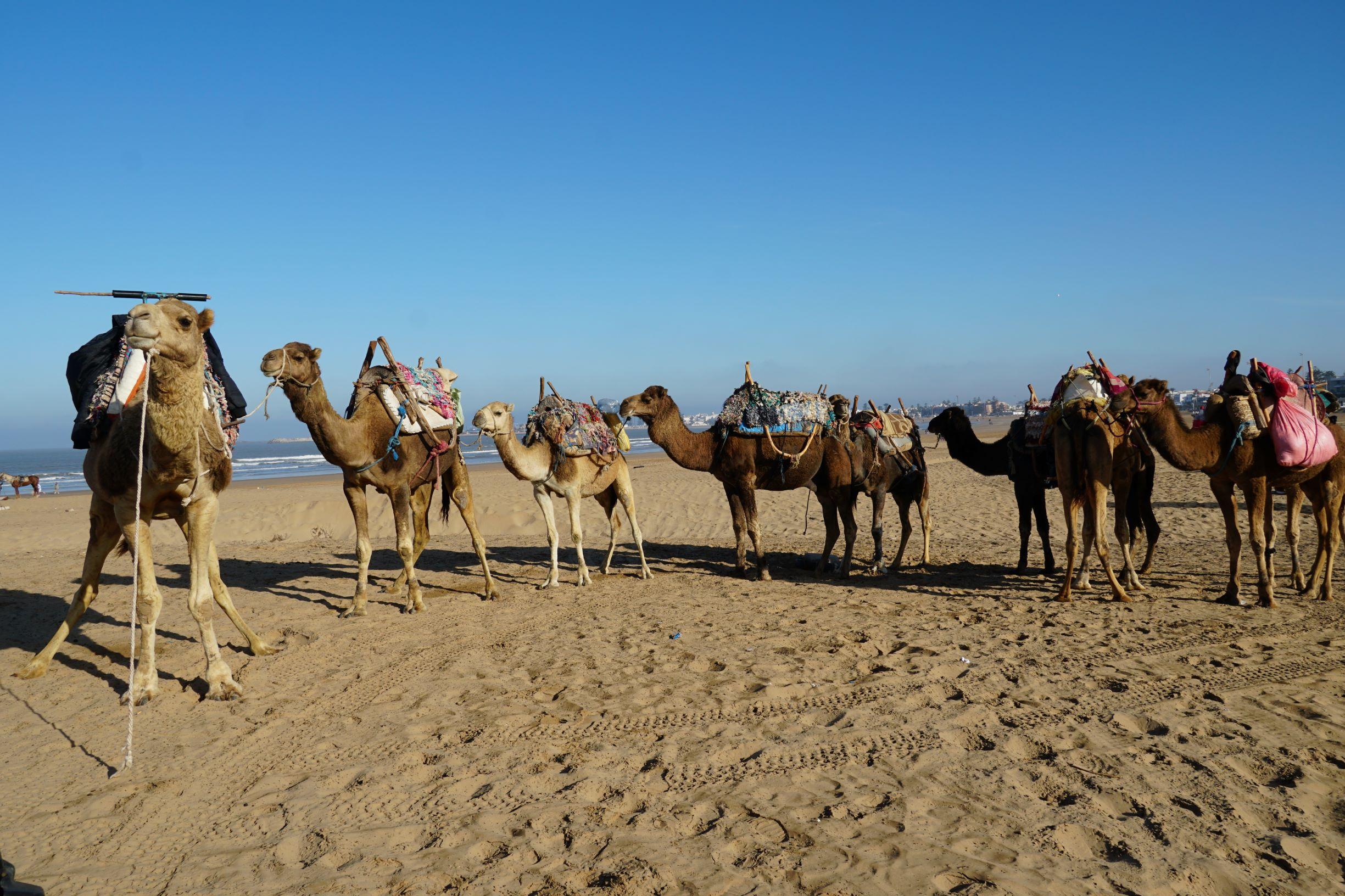 沙漠沙灘上的駱駝