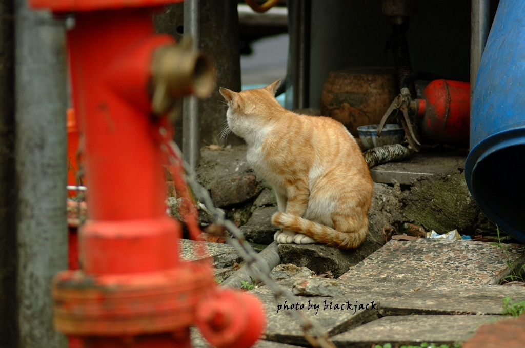 貓 筆者攝